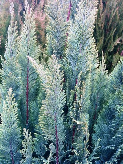 Кипарисовик Лавсона Элвуди (Chamaecyparis Lawsoniana Ellwoodii) ФОТО Питомник растений Природа/Priroda (8)