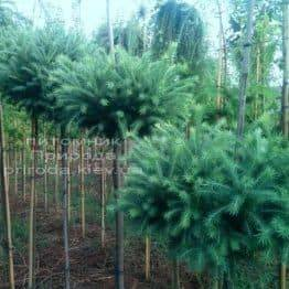 Лиственница европейская Корник (Larix deciduas Kornik) на штамбе ФОТО Питомник растений Природа (Priroda) (3)