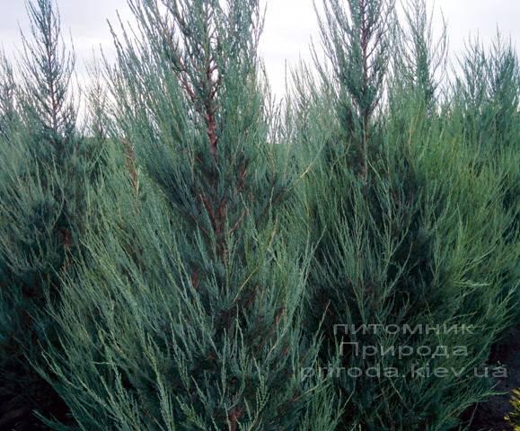 Ялівець скельний Скайрокет (luniperus scopulorum Skyrocket) ФОТО Розплідник рослин Природа / Priroda (3)