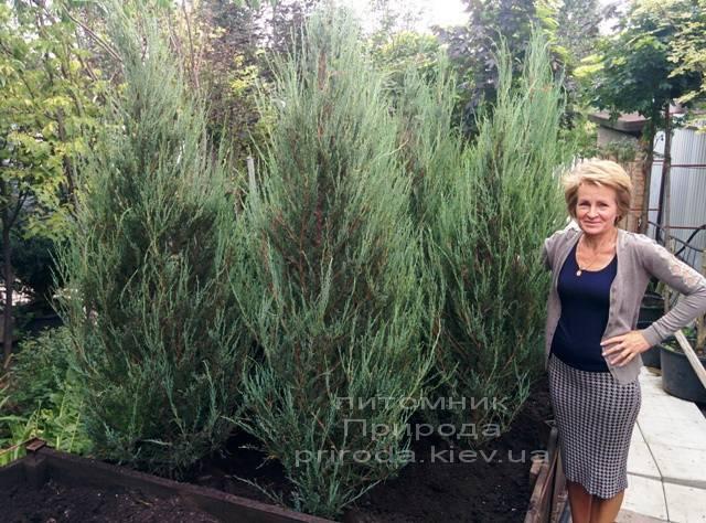 Можжевельник скальный Скайрокет (luniperus scopulorum Skyrocket) ФОТО Питомник растений Природа / Priroda (2)