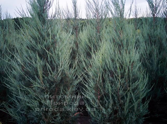 Ялівець скельний Скайрокет (luniperus scopulorum Skyrocket) ФОТО Розплідник рослин Природа / Priroda (4)
