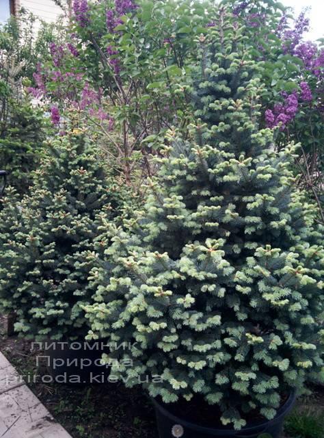 Пихта горная Компакта (Abies lasiocarpa Compacta ) ФОТО Питомник растений Природа (13)