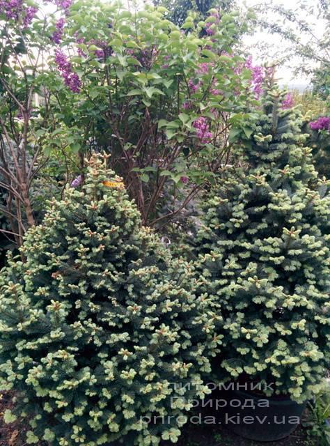 Пихта горная Компакта (Abies lasiocarpa Compacta ) ФОТО Питомник растений Природа (16)