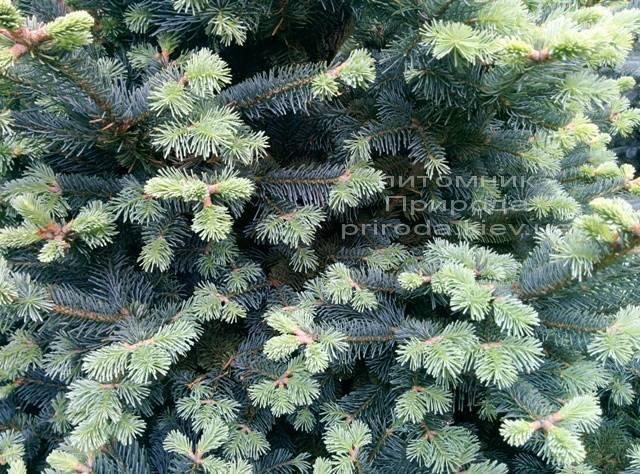Пихта горная Компакта (Abies lasiocarpa Compacta ) ФОТО Питомник растений Природа (14)