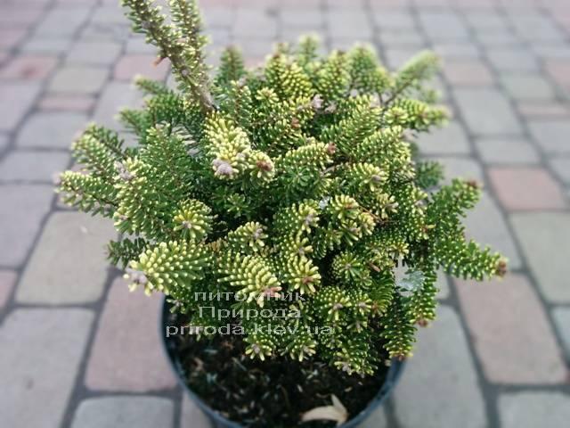 Пихта корейская Ауреа (Abies koreana Aurea ) ФОТО Питомник растений Природа /Priroda (12)