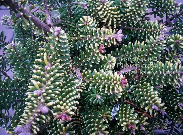 Пихта корейская Ауреа (Abies koreana Aurea ) ФОТО Питомник растений Природа /Priroda (10)