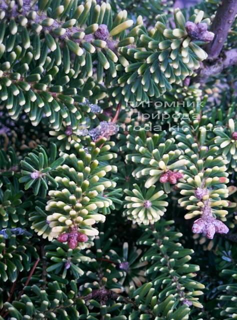 Ялиця корейська Ауреа (Abies koreana Aurea) ФОТО Розплідник рослин Природа / Priroda (11)