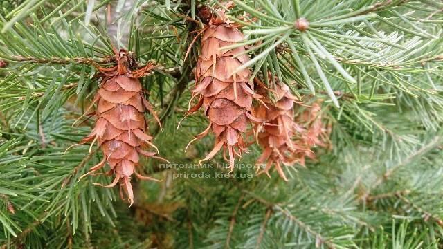 Псевдотсуга (Psevdotsuga) ФОТО Питомник растений Природа / Priroda (1)