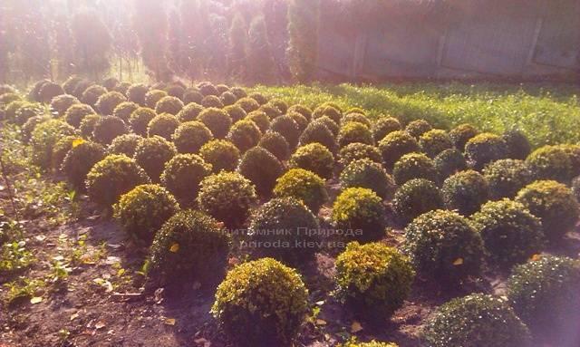 Самшит вечнозелёный Шар (Buxus sempervirens Boll) ФОТО Питомник растений Природа Priroda (12)