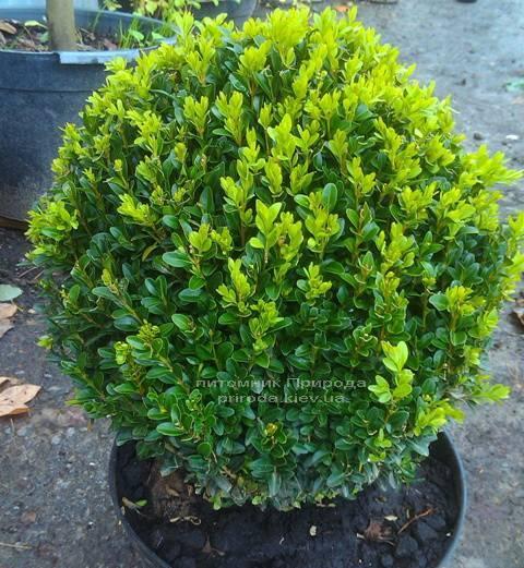 Самшит вічнозелений Куля (Buxus sempervirens Boll) ФОТО Розплідник рослин Природа Priroda (8)