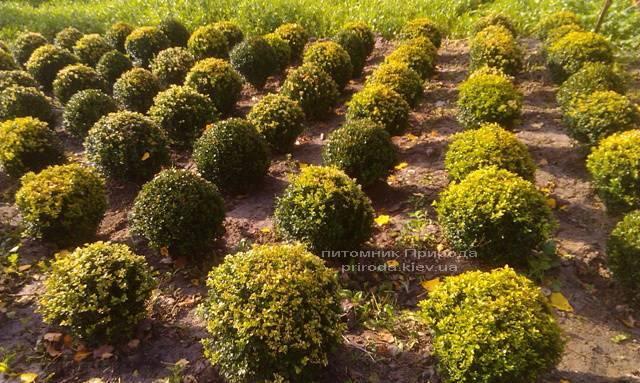Самшит вічнозелений Куля (Buxus sempervirens Boll) ФОТО Розплідник рослин Природа Priroda (9)