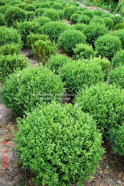 Самшит вічнозелений Куля (Buxus sempervirens Boll) ФОТО Розплідник рослин Природа Priroda (5)