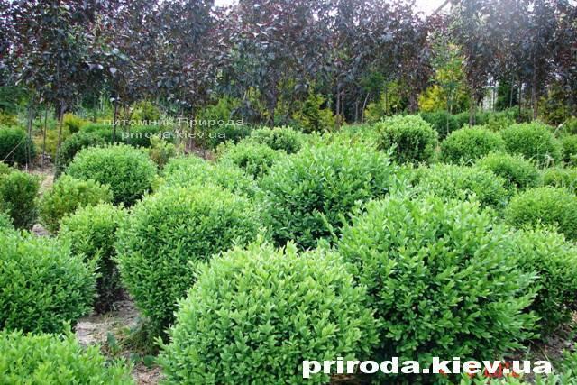 Самшит вічнозелений Куля (Buxus sempervirens Boll) ФОТО Розплідник рослин Природа Priroda (7)