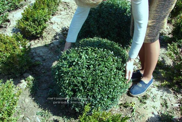 Самшит вічнозелений Куля (Buxus sempervirens Boll) ФОТО Розплідник рослин Природа Priroda (3)
