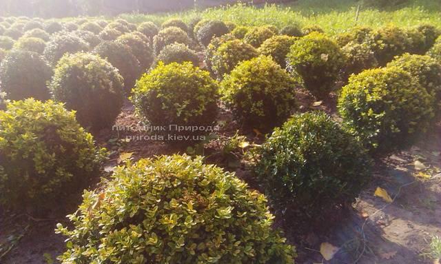 Самшит вічнозелений Куля (Buxus sempervirens Boll) ФОТО Розплідник рослин Природа Priroda (6)