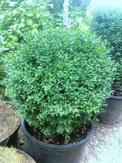 Самшит вічнозелений Куля (Buxus sempervirens Boll) ФОТО Розплідник рослин Природа Priroda (4)
