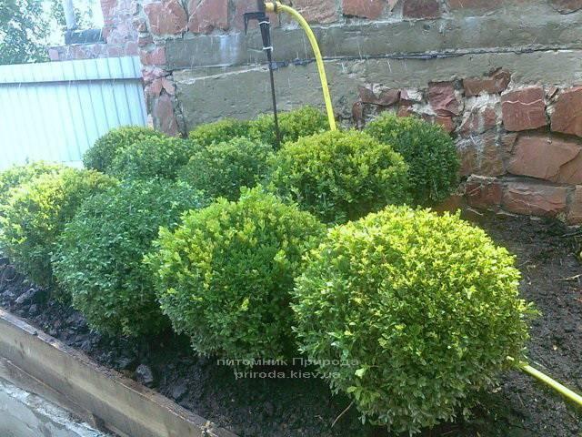 Самшит вечнозелёный Шар (Buxus sempervirens Boll) ФОТО Питомник растений Природа Priroda (2)