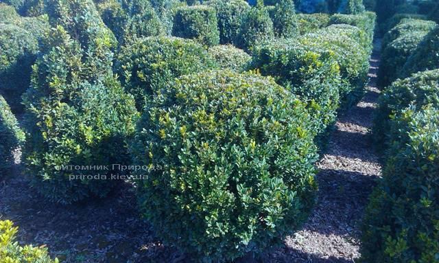 Самшит вечнозелёный Шар (Buxus sempervirens Boll) ФОТО Питомник растений Природа Priroda (14)