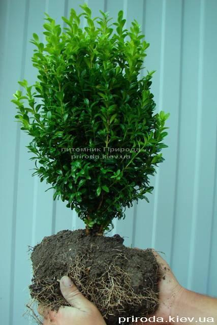 Самшит вечнозелёный (Buxus sempervirens ) ФОТО Питомник растений Природа Priroda (7)