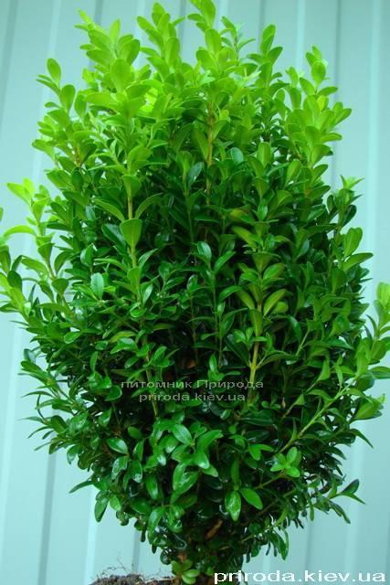 Самшит вечнозелёный (Buxus sempervirens ) ФОТО Питомник растений Природа Priroda (8)