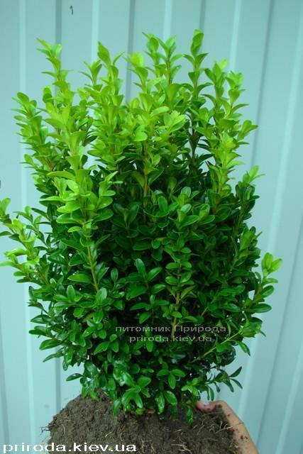 Самшит вечнозелёный (Buxus sempervirens ) ФОТО Питомник растений Природа Priroda (9)