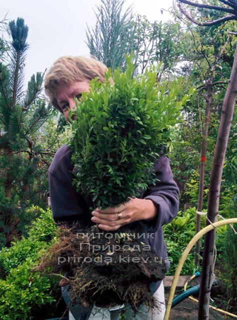 Самшит вечнозелёный (Buxus sempervirens ) ФОТО Питомник растений Природа Priroda (4)