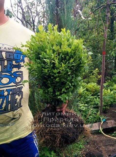 Самшит вечнозелёный (Buxus sempervirens ) ФОТО Питомник растений Природа Priroda(1)