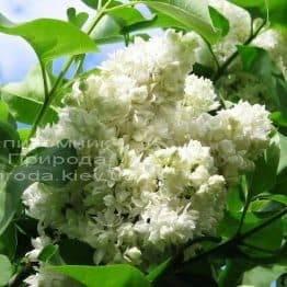 Сирень Леся Украинка (Syringa vulgaris Lesya Ukrainka ) ФОТО Питомник растений Природа (6)