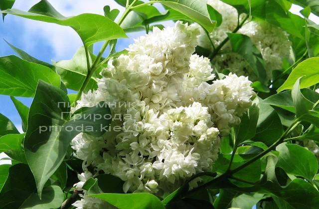 Бузок Леся Українка (Syringa vulgaris Lesya Ukrainka) ФОТО Розплідник рослин Природа (6)