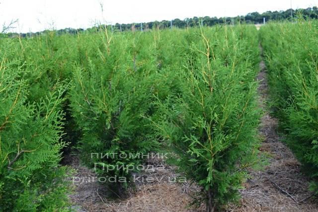 Туя западная Брабант (Thuja occidentalis Brabant) ФОТО Питомник растений Природа Priroda (9)