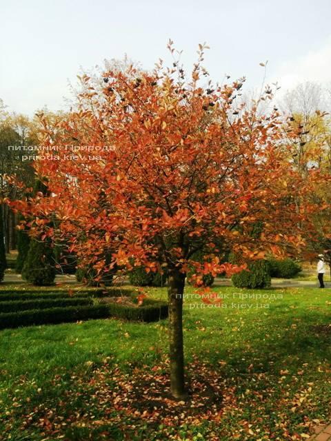 Аронія / Горобина чорноплідна куляста на штамбі (Aronia melanocarpa) ФОТО Розплідник рослин Природа Priroda (3)