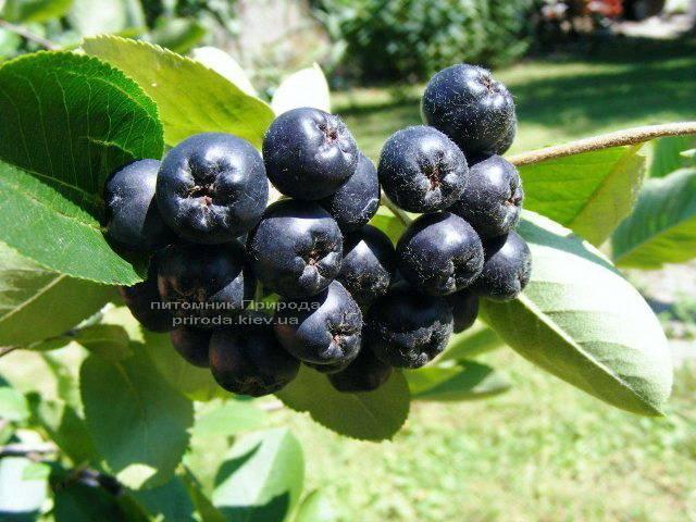 Аронія / Горобина чорноплідна куляста на штамбі (Aronia melanocarpa) ФОТО Розплідник рослин Природа Priroda (4)
