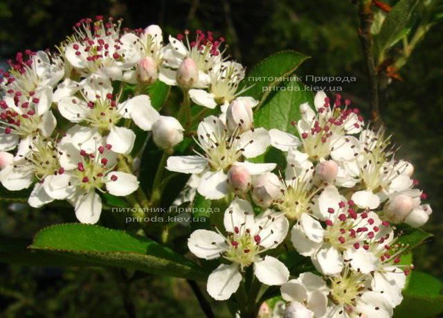 Аронія / Горобина чорноплідна куляста на штамбі (Aronia melanocarpa) ФОТО Розплідник рослин Природа Priroda (6)