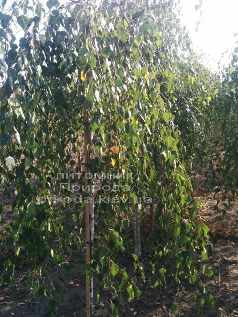 Береза бородавчаста повисла / плакуча Юнге / Юнги (Betula pendula Youngii) ФОТО Розплідник рослин Природа Priroda (6)