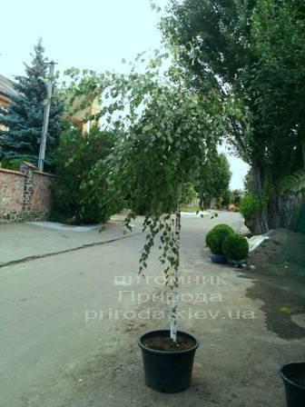Берёза бородавчатая повислая/плакучая Юнге/Юнги (Betula pendula Youngii) ФОТО Питомник растений Природа Priroda (7)