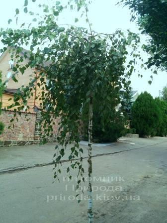 Берёза бородавчатая повислая/плакучая Юнге/Юнги (Betula pendula Youngii) ФОТО Питомник растений Природа Priroda (8)