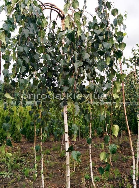 Береза бородавчаста повисла / плакуча Юнге / Юнги (Betula pendula Youngii) ФОТО Розплідник рослин Природа Priroda (9)