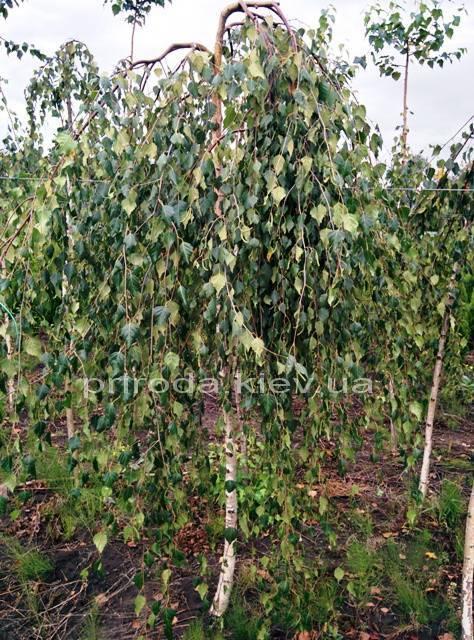 Берёза бородавчатая повислая/плакучая Юнге/Юнги (Betula pendula Youngii) ФОТО Питомник растений Природа Priroda (11)