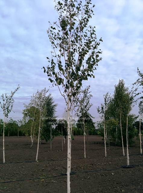 Береза корисна (Betula utilis) ФОТО Розплідник рослин Природа Priroda (13)