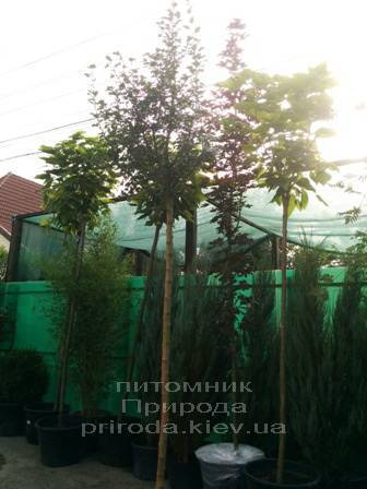 Боярышник колючий/обыкновенный Пол Скарлет (Crataegus x media Paul's Scarlet) ФОТО Питомник растений Природа Priroda (1)