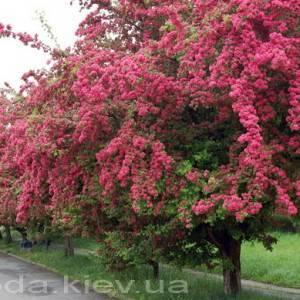 Боярышник Пол Скарлет дерево