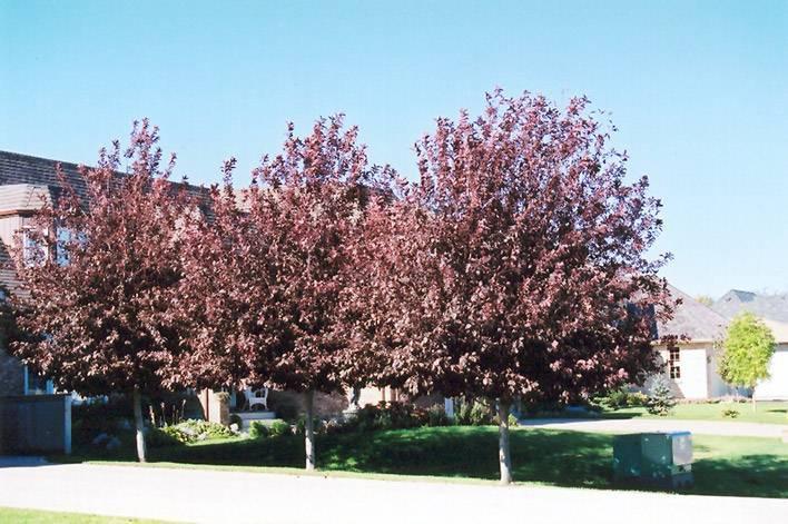 Черемуха виргинская Шуберт (Prunus virginiana Shubert) ФОТО Питомник декоративных растений Природа Priroda (2)