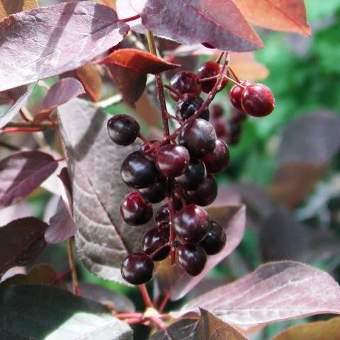 Черемуха виргинская Шуберт (Prunus virginiana Shubert) ФОТО Питомник растений Природа Priroda (5)