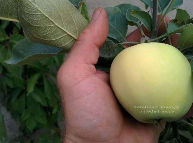 Яблоня Белый Налив летний сорт ФОТО Питомник растений Природа Priroda (42)