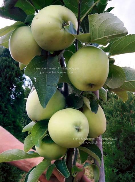 Яблоня Белый Налив летний сорт ФОТО Питомник растений Природа Priroda (45)