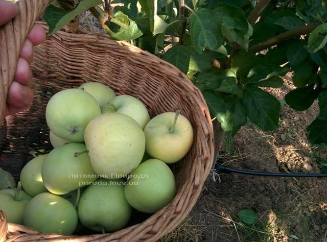 Яблоня Белый Налив летний сорт ФОТО Питомник растений Природа Priroda (46)