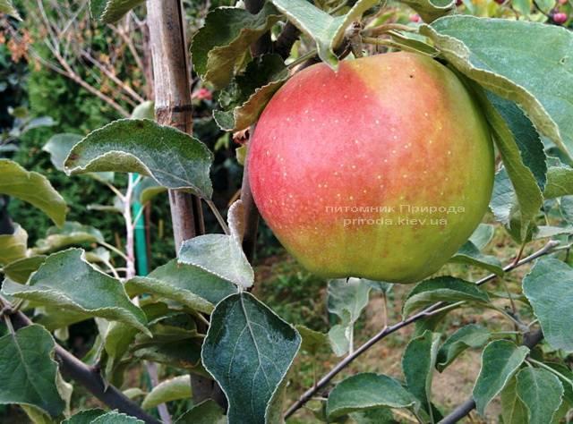 Яблоня Пепинка золотистая ФОТО Питомник растений Природа Priroda (21)