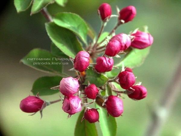 Яблуня райська декоративна Маковецький (Malus Makowieckiana) ФОТО Розплідник рослин Природа (14)