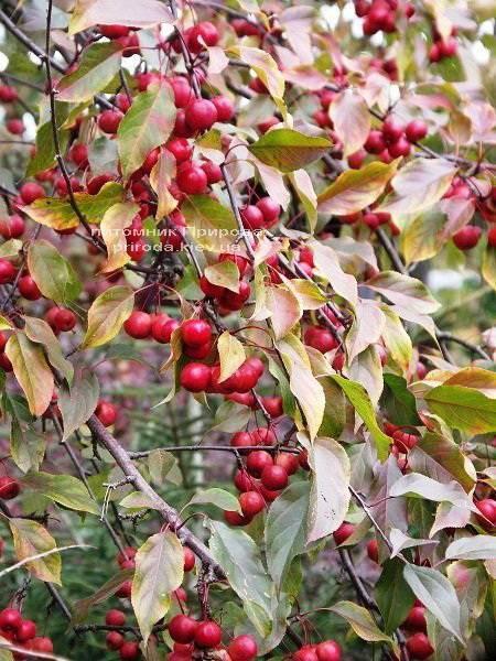 Яблуня райська декоративна Маковецький (Malus Makowieckiana) ФОТО Розплідник декоративних рослин Природа (15)