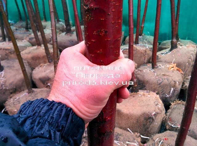 Яблуня райська декоративна Маковецький (Malus Makowieckiana) ФОТО Розплідник декоративних рослин Природа (19)